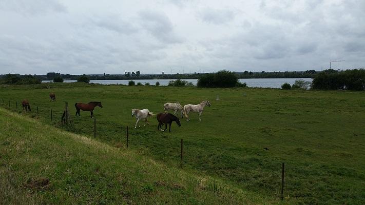 Koeien in uiterwaarden op een wandeling over het Maaspad van Berg aan de Maas naar Maaseik