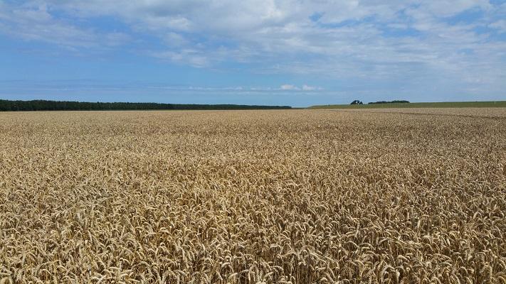 Graanvelden op een wandeling van Lauwersoog via Niekerk naar Ulrum over het Nederlands Kustpad