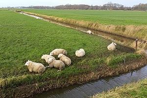 Schapen op een wandeling over het Noardlike Fryske Wâldenpad