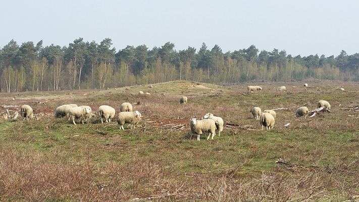 Wandelen over het Peelpad bij schapen in De Heere Peel