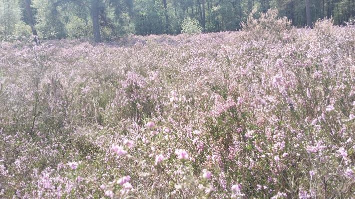 Wandelen over het Peelpad bij bloeiende heide bij Overloon