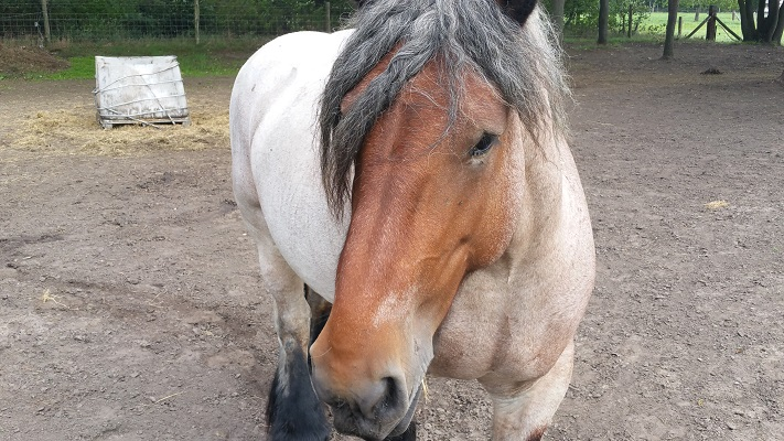 Wandelen over het Peelpad bij een Belgisch paard in Tungelroy
