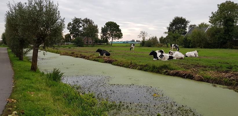 Wandelen over het Romeinse Limespad bij koeien in polder Rietveld bij Alphen aan de Rijn