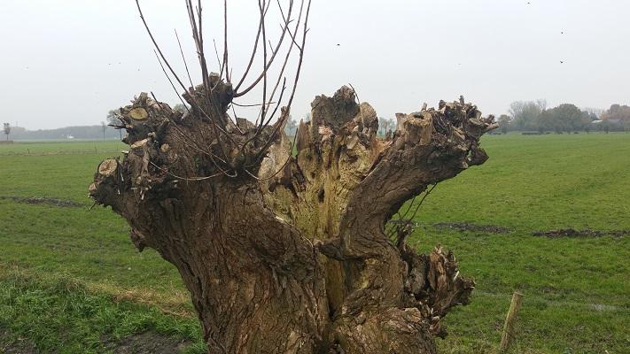 Knotwilg bij Winssen op een wandeling van Hernen naar Winssen over het Roots Natuurpad