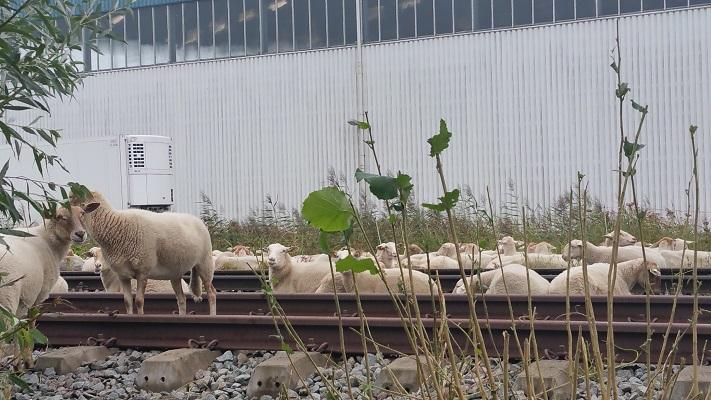 Schapen op Duits Lijntje op wandeling over het Roots Natuurpad van Schijndel naar Veghel