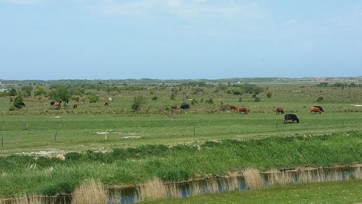 Koeien in een wandeling WaddenWandelen op Borkum