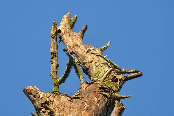 Dorre boom tijdens wandeling met Jos van de Wijst op Maashorst in Uden