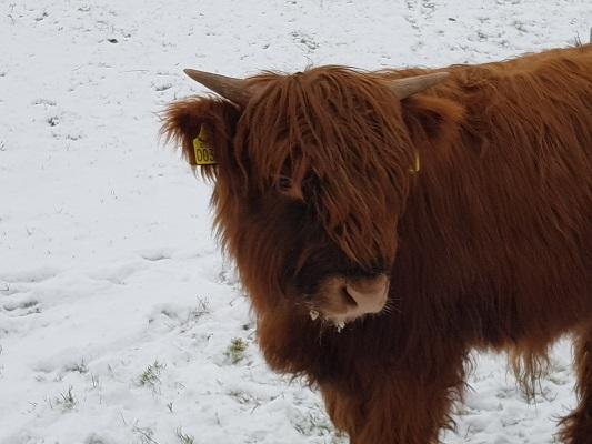 Schotse Hooglander op wijstgronden tijdens IVN-wandeling Over Peelrandbreuk en wijstgronden in Uden