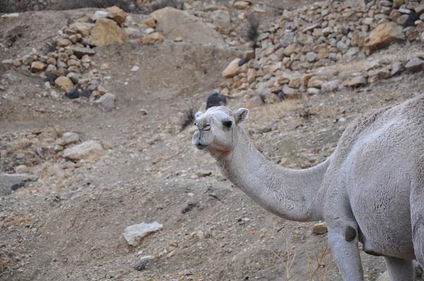 Kameel tijdens een wandeling in natuurreservaat Dana tijdens een wandelreis van SNP door Jordanië