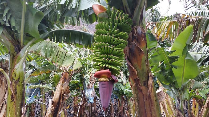 Bananenoogst in La Calera Wandelpad hoog boven Barranco de Erque tijdens wandeling op een wandelvakantie op La Gomera op de Canarische Eilanden