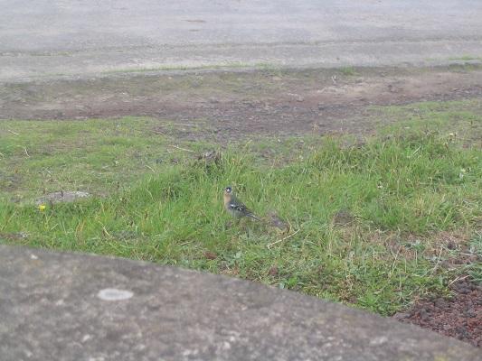 Vogel gespot bij Asno Mosteiros tijdens een wandelvakantie op eiland Sao Miguel op de Azoren