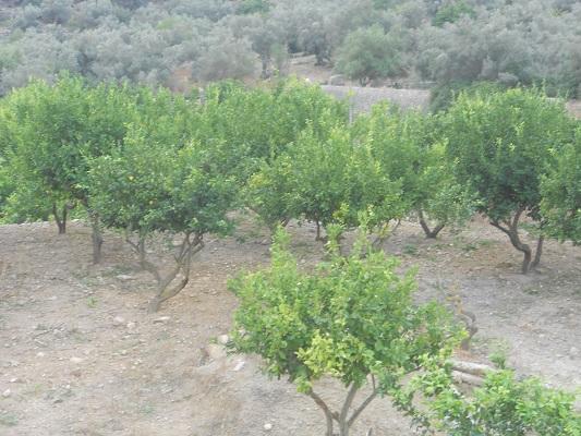 Olijfboomgaard bij Bunyola op wandelvakantie in Tramuntanagebergte op Spaans eiland Mallorca