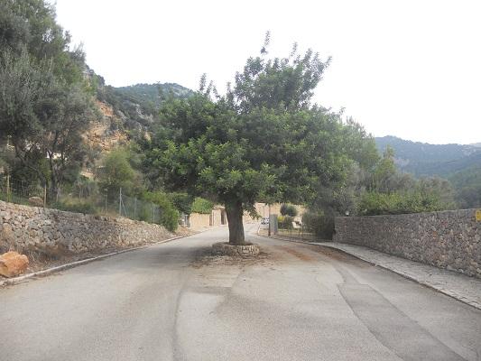 Olijfboom bij Bunyola op wandelvakantie in Tramuntanagebergte op Spaans eiland Mallorca