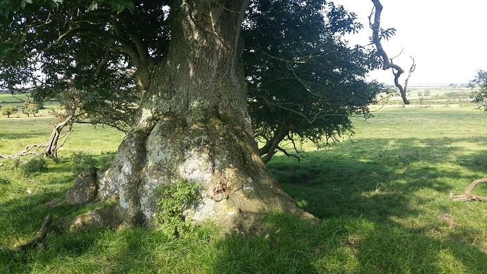 Reusachtig dikke boom tijdens wandeling van Carlisle naar Bownes op wandelreis over Muur van Hadrianus in Engeland