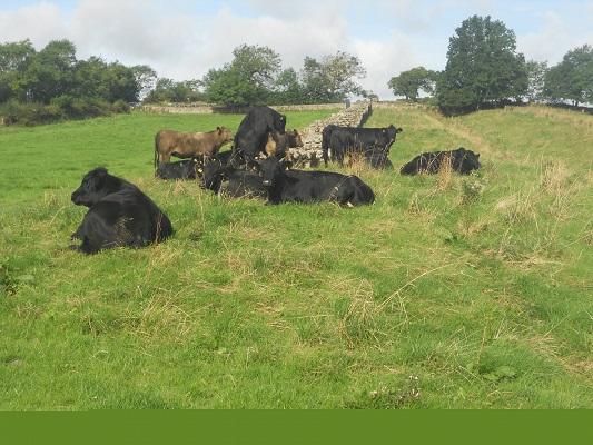 Koeien bij de Muur op een wandeling van Heddon on Wall naar Chollerford op een wandelreis over de Muur van Hadrianus in Engeland