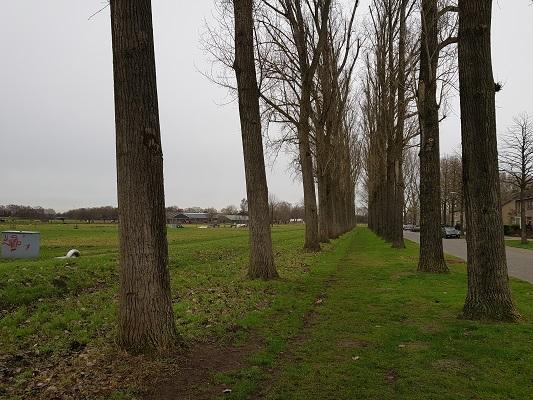 Populieren in Terheijden tijdens een wandeling over het Zuiderwaterliniepad van Terheijden naar Oosterhout