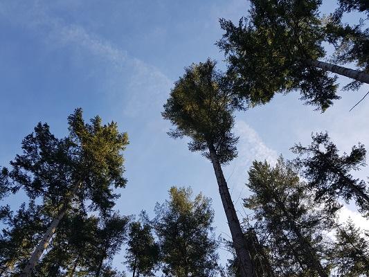 Hoge naaldbomen bij Zuiderheide bij Hilversum tijdens een NS-wandeling Landgoed Groeneveld van Baarn naar Hilversum