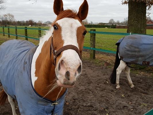 Paard bij de Bergakkers tijdens een ommetje Vorstenbosch, mijn geboorteplaats.
