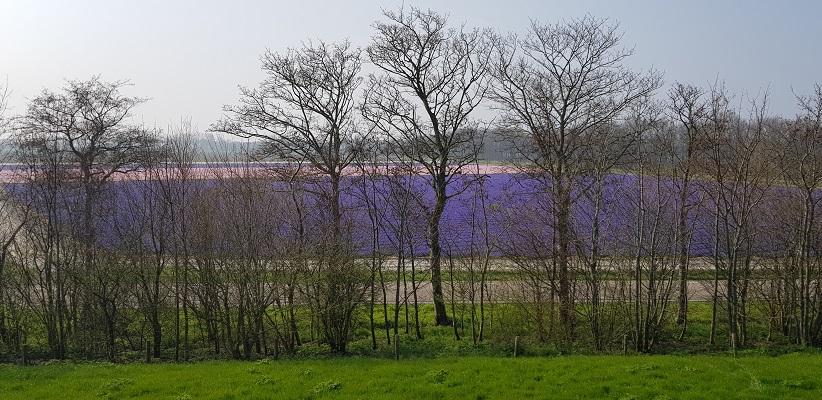 Wandelen over het Noord-Hollandpad van Nieuwesluis naar Den Oever bij gekleurde bollenvelden