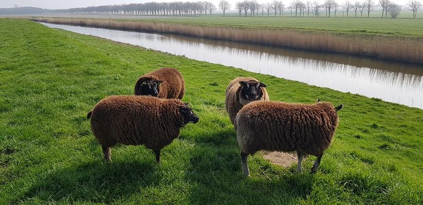 Wandelen over het Noord-Hollandpad van Nieuwesluis naar Den Oever bij schapen langs het Amstelmeerkanaal