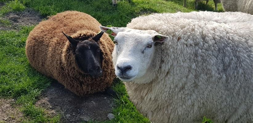 Wandelen over het Noord-Hollandpad van Nieuwesluis naar Den Oever langs schapen