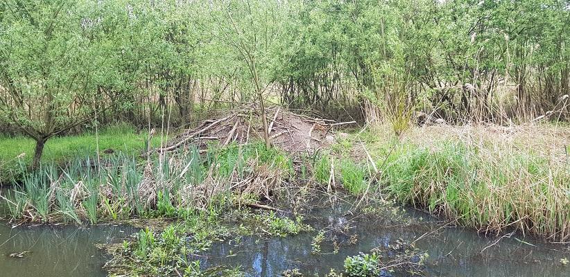 Wandelen over het Peelpad van Altweerderheide naar Stramproy bij een beverburcht