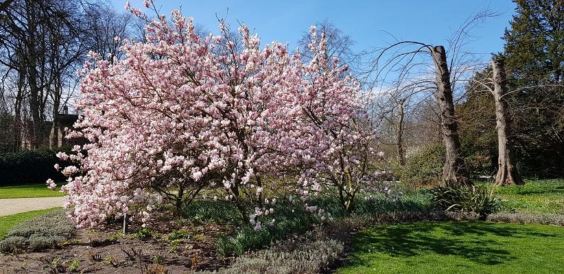 Wandelen over trage tocht Lisse bij magnolia bij Kasteel de Haar