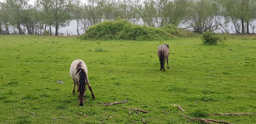 Wandeling over het vernieuwde Waterliniepad van Woudrichem via voetveer naar Slot Loevestein langs paarden in de uiterwaarden van de Waal
