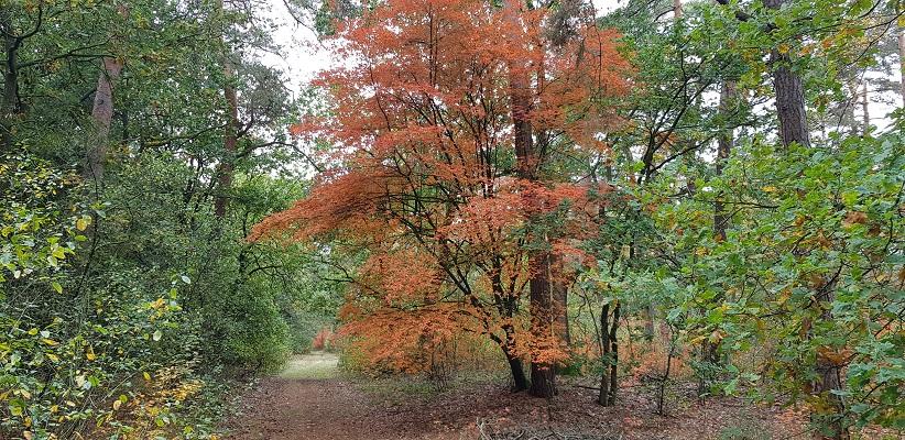 Herfstkleuren op NS-wandeling Landgoed Geijsteren