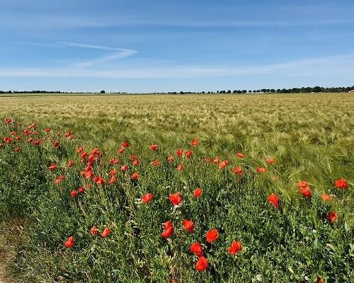 Wandeling uit gids Rondom Zuid Limburg van Susteren naar Schinveld bij klaprozen in graanveld