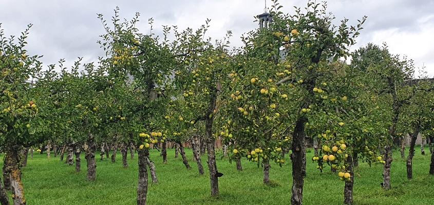 Wandeling over Klompenpad Ambts- en Rijkspad in Winssen in fruitgaard