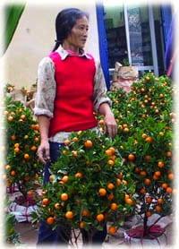 TET Kumquat Tree