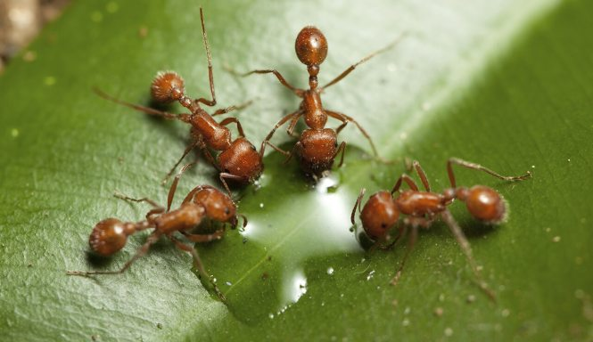 Army Ant Facts