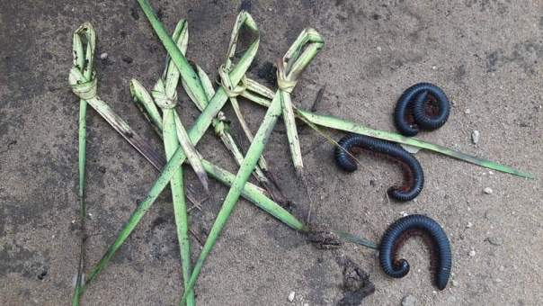 Akwa Ibom Thief Visited By Over 500 Millipedes (4)