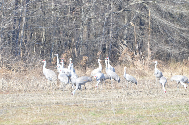Sandhill Cranes #birding #alabama