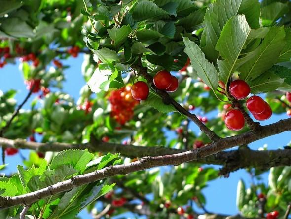 taille du cerisier