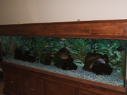 200 gallon African Cichlid Aquarium