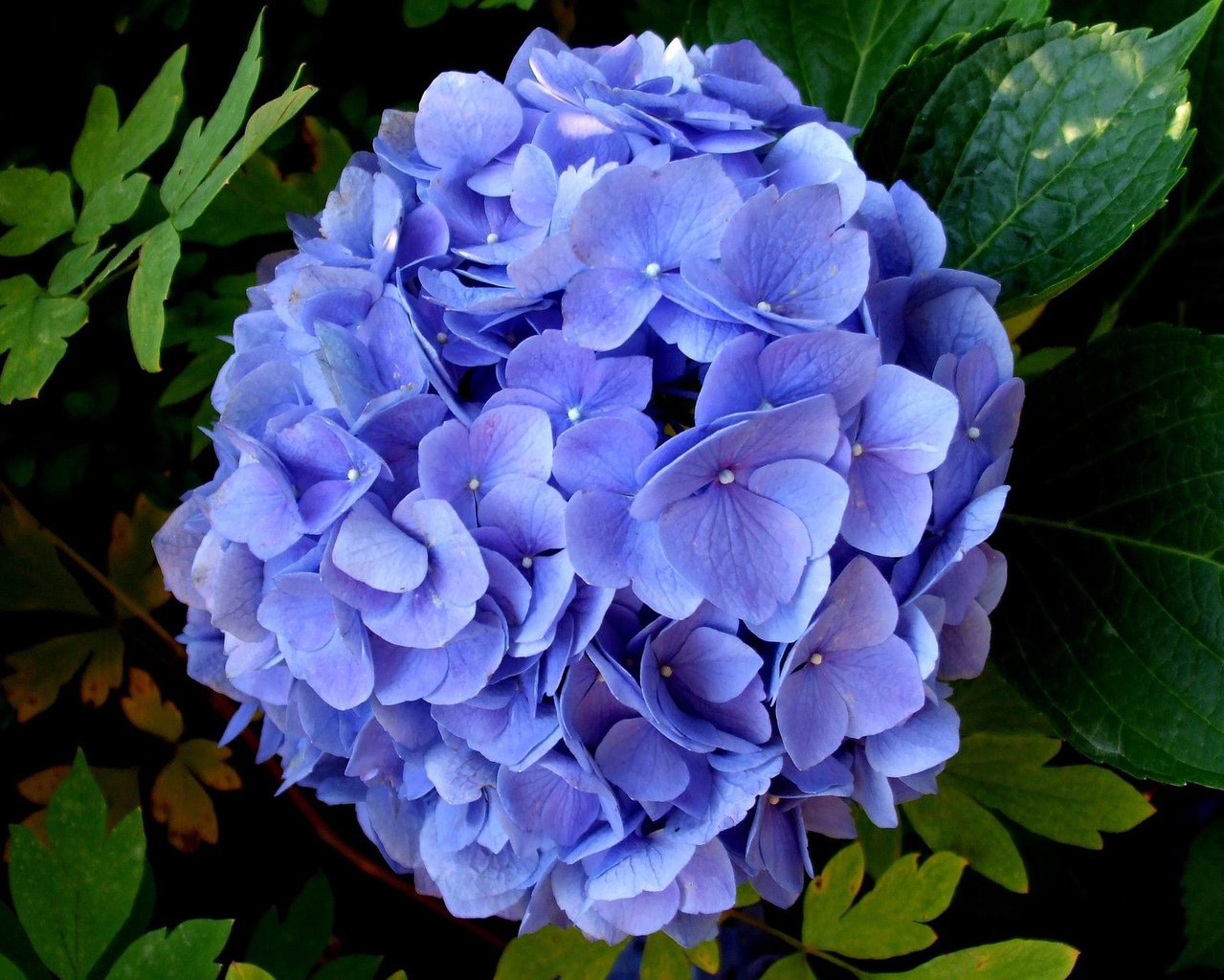Hydrangeas are Toxic