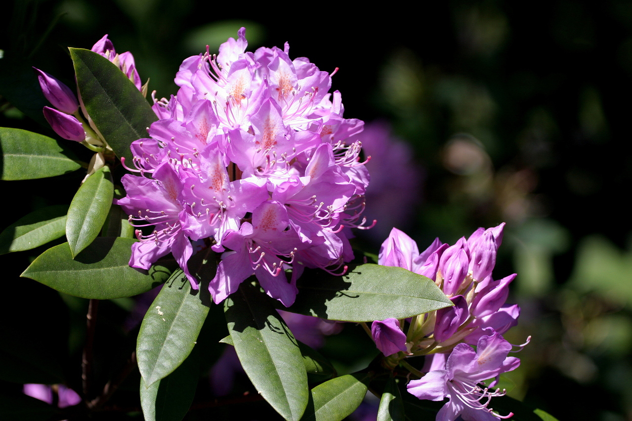 Rhodedendron is Toxic