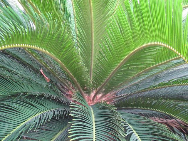 Toxic Sago Palm