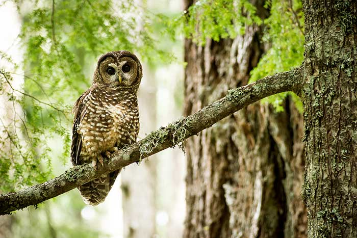 Northern Spotted Owl Range