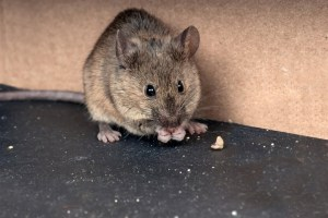 Home Inspectors Orlando a big rat eating its food | pest proof