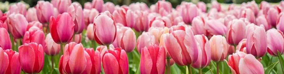 Tulip Flower Bulbs  Tulipa   American Meadows Cheerful  colorful flowers welcome the arrival of spring