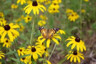 3 Ways to Attract Monarch Butterflies This Fall