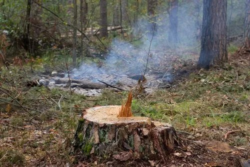 Pine stump, result of tree felling. Total deforestation, cut forest. Oxygen reduction, climate change