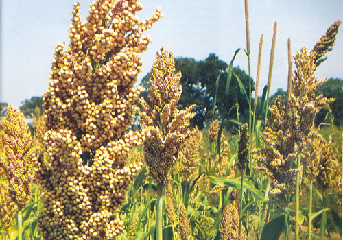 What Kind of Grain is Sorghum?