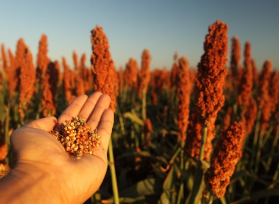 What is Sorghum?