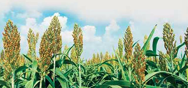 sorghum Wonder Grain