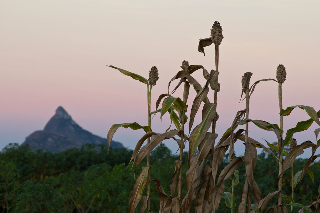 Take a Second for Sorghum | UC Food Observer