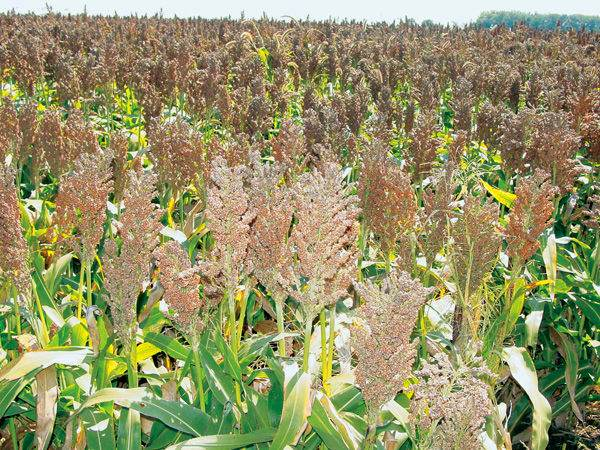 sorghum and corn